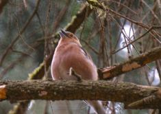 screen shot chaffinch
