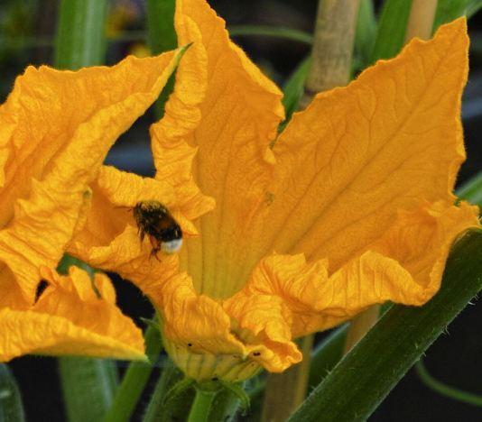 pollendrunk bee