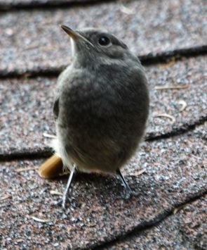 robin baby
