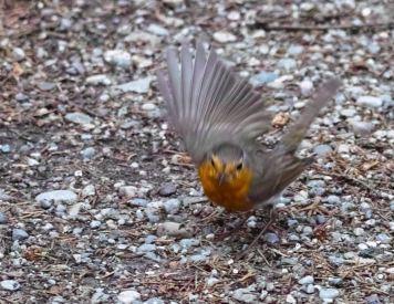 robin flight