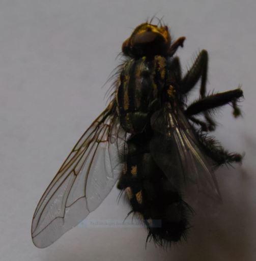 deadfly